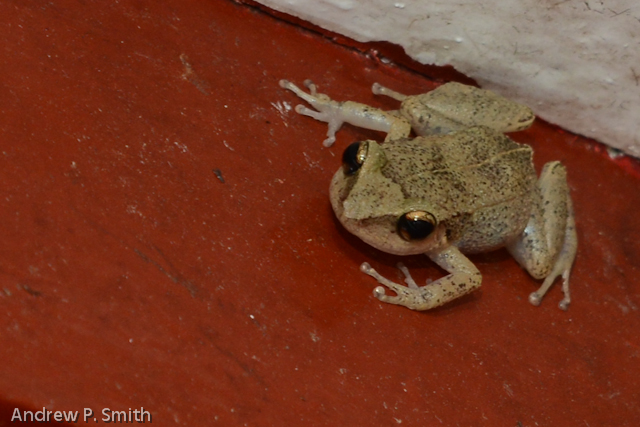 A frog in the eaves of my porch.